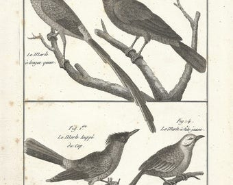 1790 Antique ORIGINAL Print, Blackbirds, 227 Years Old Engraving, Natural History