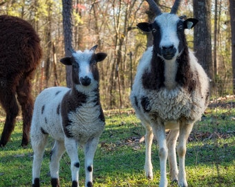 Raw Jacob lamb fleece unwashed sheep wool for spinning or felting