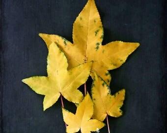 Nature Photography- Maple Leaves Print, Botanical Print, Maple Leaf Still Life, Golden Maples, Gold and Black Art, Dark Botanical Wall Art
