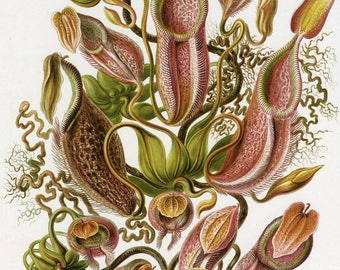 Fine Art Reproduction. Art Forms in Nature: Ernst Haeckel. Nepenthaceae, 1899. Fine Art Print.