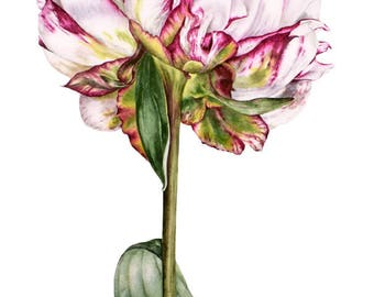 Original Painting, Watercolor, Peony Painting, Botanical Illustration, Watercolor Flowers, Peony Watercolor, Watercolor Painting