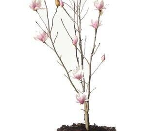ALEXANDRINA MAGNOLIA TREE Size: 7 gallon