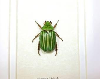 FREE SHIPPING Real Framed Chrysina Adelaida Jewel Scarab Beetle Taxidermy A1 #106