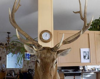 Summer 1938 Jonas Bro. 6x6 Pt. Bull Elk Shoulder Mount, Taxidermy, Tutt Estate, Animal