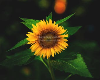 Flower Digital Background - Sunflower