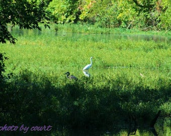 A blue and white heron together