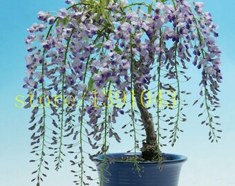 10 Wisteria seeds, bonsai Wisteria sinensis tree 100% true seed tree seeds for home garden plant 1