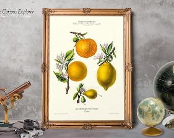 Orange Kitchen Decor, Orange Art Poster, Vintage Orange Print, Antique Orange Art, Orange Botany Art, Orange Botany Decor - E15fr1