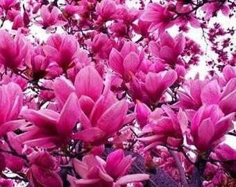 Yulan Magnolia Seeds Purple Tree Flower  10 seeds  hybrid strong fragrant flowers