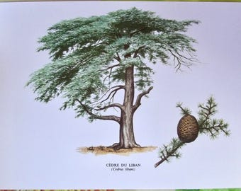 Old paper board botanical tree Cedar of Lebanon (Cedrus avalanches) according to the Gaston Bonnier original 1979 Vintage very good condition