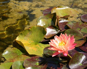 Pink Water Lily Photo, 5x7 Photo, 8x10 Photo, 11x14 Photo, Pink Flower Photo
