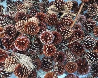 Pine Cones (set of 100)