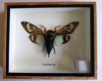 Cicada. Insect Entomology. Collectors. Taxidermy.