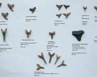 Assorted Fossil Shark Tooth Lot
