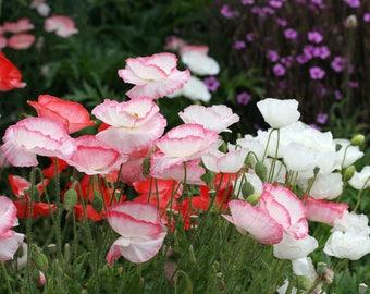 40+  POPPY - FALLING in LOVE, Papaver Rhoeas / Perennial / Easy / Deer Resistant Flower Seeds