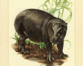Vintage lithograph of the pygmy hippopotamus from 1956