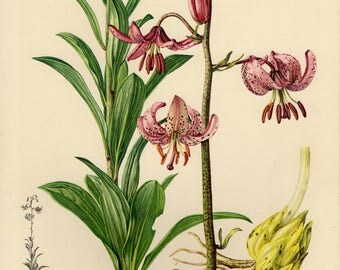 Vintage lithograph of the martagon lily or Turk's cap lily from 1953