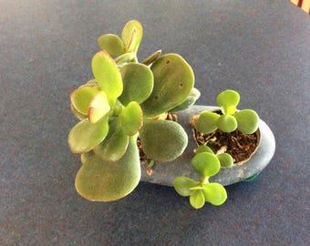 Rock with live succulent plants