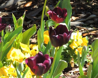 Stair Stepping Tulips
