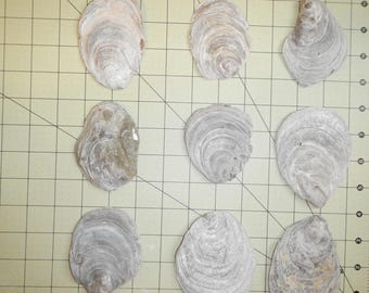 40 fossil oyster shells, one side of the shell, great for crafts