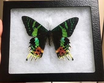 Framed Madagascan Sunset Moth