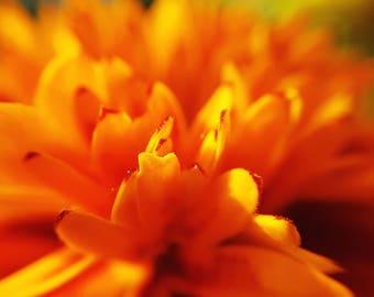Sunlit Marigolds // Photography // Flower // Nature // Wall Art