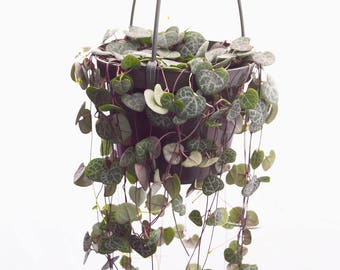 "LARGE Purple String of Hearts 6"" Hanging Plant Trailing Succulents, Rosary Vines, Ceropegia Woodii, Rare Succulent Basket, String of Pearls"