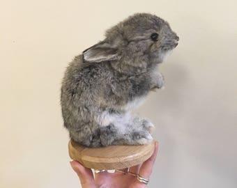 Taxidermy bunny rabbit