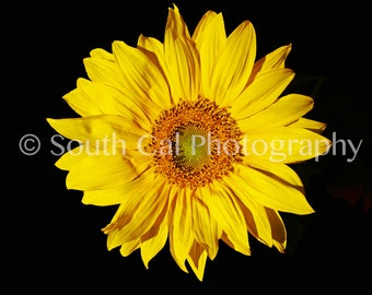 Sunflower | Yellow | Black Background | Digital Image | South Cal Photography