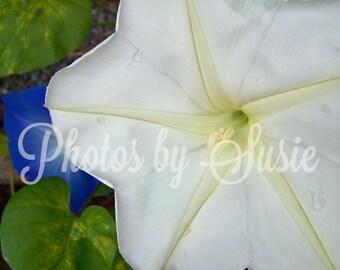 "Moon Flower - 16""X20"" Photo"