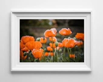 Orange Poppies, Original Photography Print, Landscape, Flowers, Wall Art, Decor