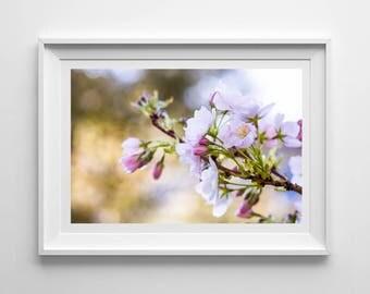 Cherry Blossom, Original Photography Print, Flower, Blossom, Wall Art, Decor