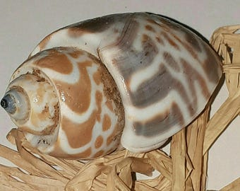 1 shell unpierced - 60 x 40 mm - ideal for any creation