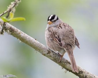 White-crowned Sparrow: print, metal, canvas