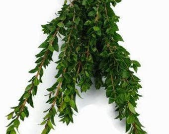 Myrtle, Fresh Myrtle, real myrtle, tall cut flowers, tall foliage, foliage, florist supplies, floral arrangements, floral, wedding flowers