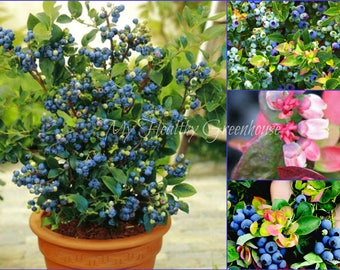 SEEDS   Dwarf Blueberry U201cJelly Beanu201d (Vaccinium X) Compact Hardy Self