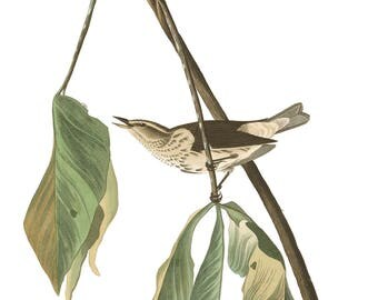 Audubon's Plate 19 Louisiana Water Thrush Cross Stitch Pattern