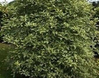 LIVE PLANT --  Pittosporum eugenioides Variegatum