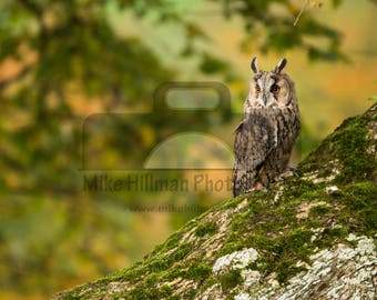 """Mounted Photographic Display Print - Long Eared Owl #3 (A4 print in 14"""" x 11"""" Mount, Unframed)"""