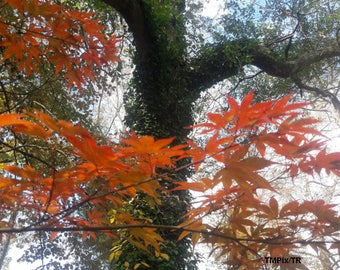 Fall leaves, Nature Photography, Autumn, Ivy, Southern fall, Japanese maple, Oak tree