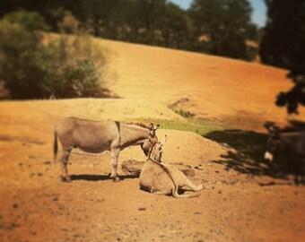 Donkeys in August Dust