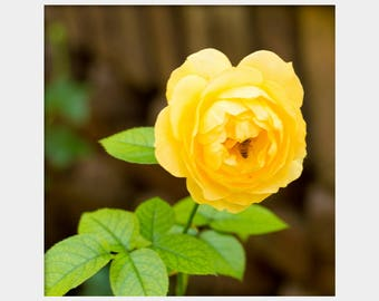Yellow Rose Photo, Yellow Flower Photo, Square Rose Print, Green Yellow Art, Yellow Green Print, Yellow Floral Photo, Bee on Flower