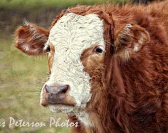 Cow Photography Canvas Gallery Wraps, Large Farm Animal Wall Art, Rustic Home Decor, Cow Lover Gift, Country Home Decor, Nursery Art