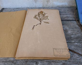 Antique-1887-1889-French-herbarium Cardocella molle