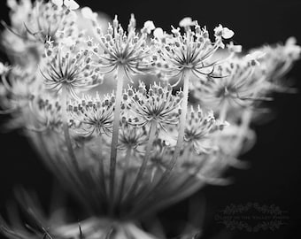 Queen Annes Lace, Nature Photography, Wall Decor, Flower Photograph, Macro Photo, Fine Art Print, Farmhouse Decor, Black and White, Grey