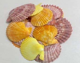 "Seashells - 5 Pecten Nobilis Shells - Naturally Colored in Shades of Purple, Orange and Yellow - 2"" - 2.5"" - sea shells coastal"