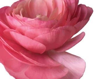 Ranunculus Beautiful Bright Pink Garden Flower   - Vinyl Decal Wall Décor