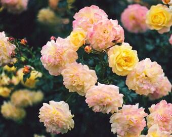 Rose Garden I - Fine Art Photograph, Flower, Nature, Garden Photography, Floral, Room Decor, Wall Art