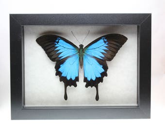Real Ulysses butterfly framed insect bug gift Papilio ulysses ulysses