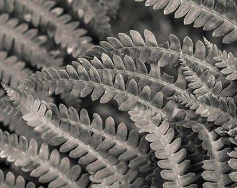 fern detail, 8x10 fine art black & white photograph, nature